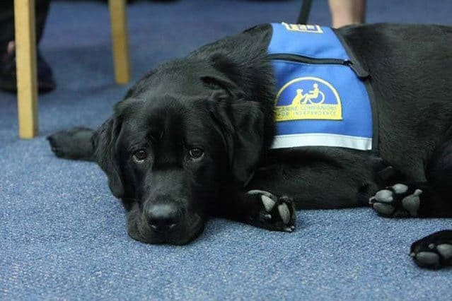 New York City DA Hires Bronksey The Comfort Dog