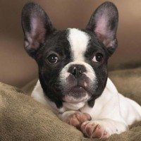 Yep, we just used a photo of a Boston Terrier because it's a BOSTON Terrier.