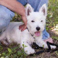 Sadie-terrier