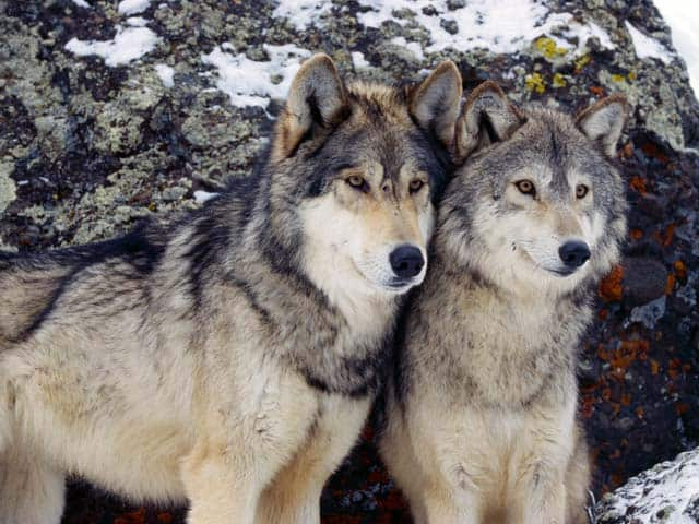 The War On Wolves In Wyoming