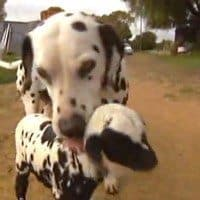 Dalmatian Dog Adopts Orphaned Lamb: Cute Video