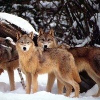 Federal Government Ends Wyoming Wolf Protections