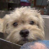 Rescuing Watson, The Three Legged Dog: Heartwarming Video
