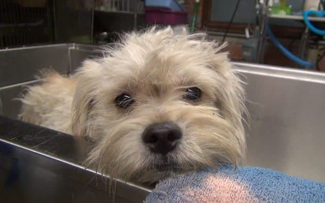 Rescuing Watson, The Three Legged Dog: Heartwarming Video