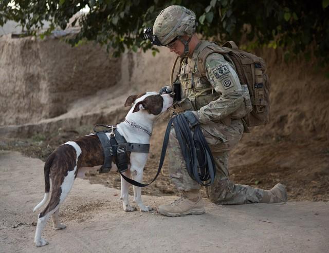 Best Pit Bull Army Adorable Dog - pitbullmwd0005-640x493  Graphic_733932  .jpg