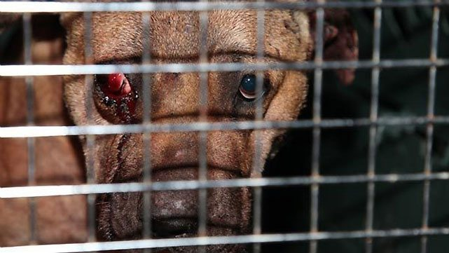8 Arrested In Illinois Dog Fighting Ring