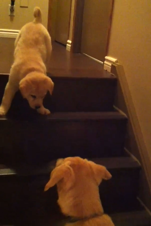 dog-teaches-pup-down-stairs
