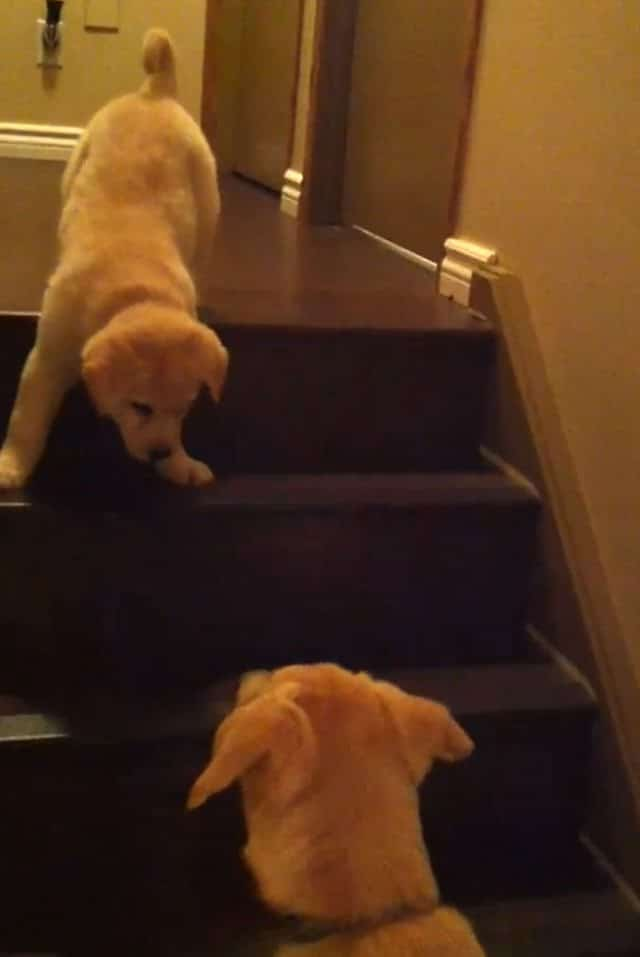 Older Dog Teaches Young Pup How To Walk Down Stairs: Adorable Video