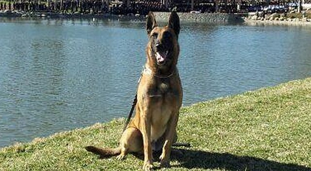 Police Dog Back On Duty After Two-Story Fall