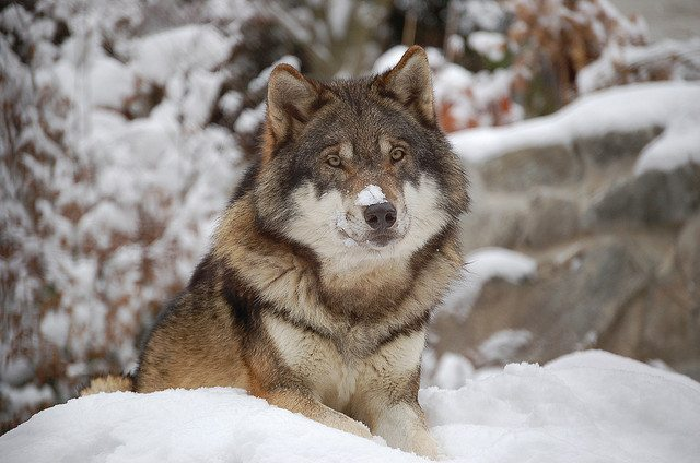 625 Montana Wolves To Be Hunted with 6,000 Permits