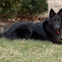 File photo of Belgian Sheepdog.