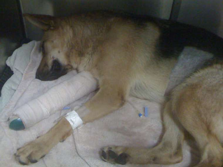 Freedom the German Shepherd resting up after treatment.