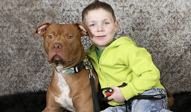 Pit Bull Saves Preschooler Days After Being Adopted