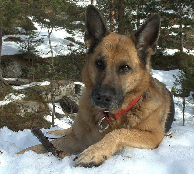 Devoted Dog Saves Hiker, Is Eaten In Return