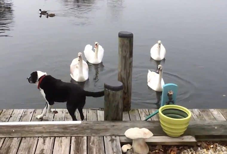 Max & Remy: Swan Wars: Cute Dog Video