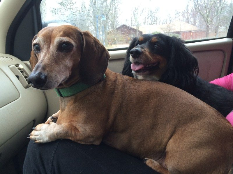 Jake and Nate, dachshunds at large!