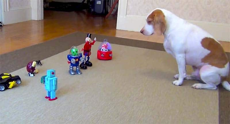 Robots Vs. Beagle – Cute Dog Video