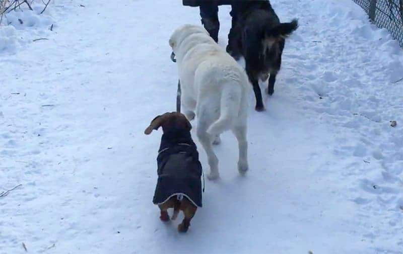 Labrador walks Dachshund.