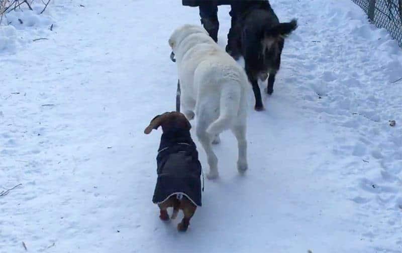 Labrador walks Dachshund.