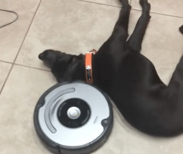 Lazy Dog VS. Roomba!